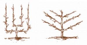 Arbres fruitiers palissés - oblique, verrier, legendre, cordons 2 et 1 bras.