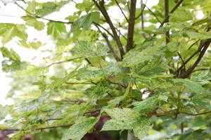 Acer leopoldii