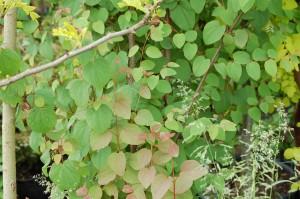 Arbre au caramel Cercidiphyllum japonicum