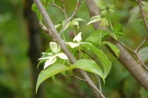 Cornouiller à fleurs Cornus kousa var.chinensis (2)