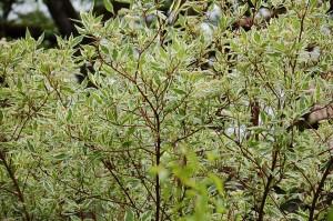 cornouiller Cornus alba 'Elegantissima'