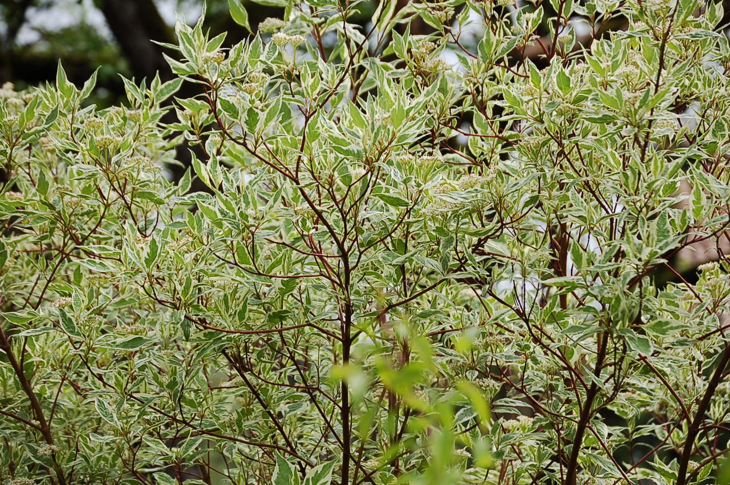 cornus alba elegantissima argentea p pini res rougieux. Black Bedroom Furniture Sets. Home Design Ideas