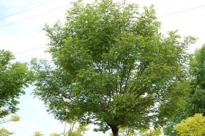 Robinia pseudoacacia 'Umbraculifera' (2)
