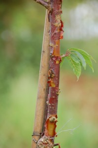 Cerisier du Tibet Prunus serrula (2)