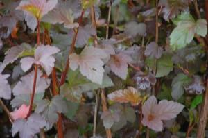 Physocarpus opulus (2)