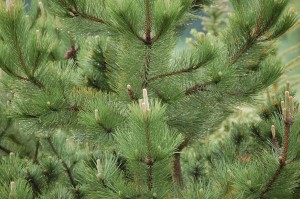 Pinus nigra 'Austriaca'