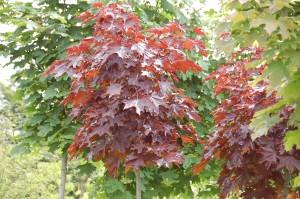 Acer crimson king