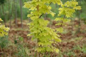 Acer platanoides 'Princeton gold' (1)