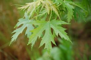 Acer sacharinum pyramidalis