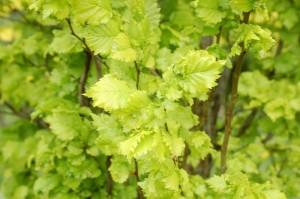 Ulmus resista 'Saporro Autumn Gold'