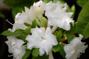 Azalea mollis blanc