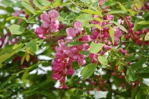 Robinia pseudoacacia 'Casque Rouge'